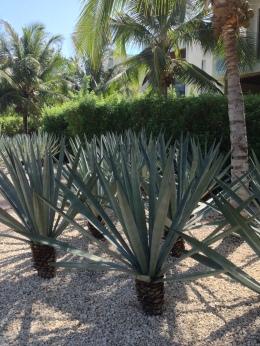 Immaculate gardens, Rosewood Mayakoba